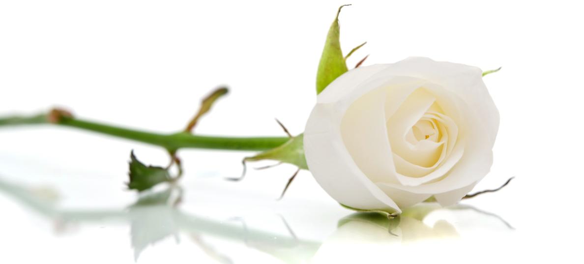 1 Ora E Una Rosa Bianca Celebriamo La Giornata Dei